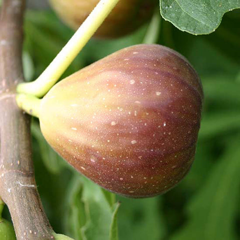 Fig-Puna-Fig(Grafted)- Fruit Plants & Tree