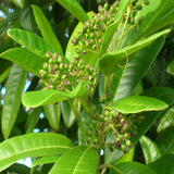 Pimenta Diocia All Spice - Fruit Plants & Tree