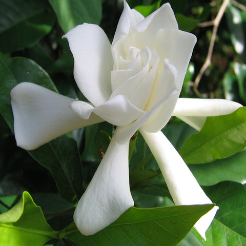 Jasmine Rose Regular - Top Perfuming - Fragrant Plants