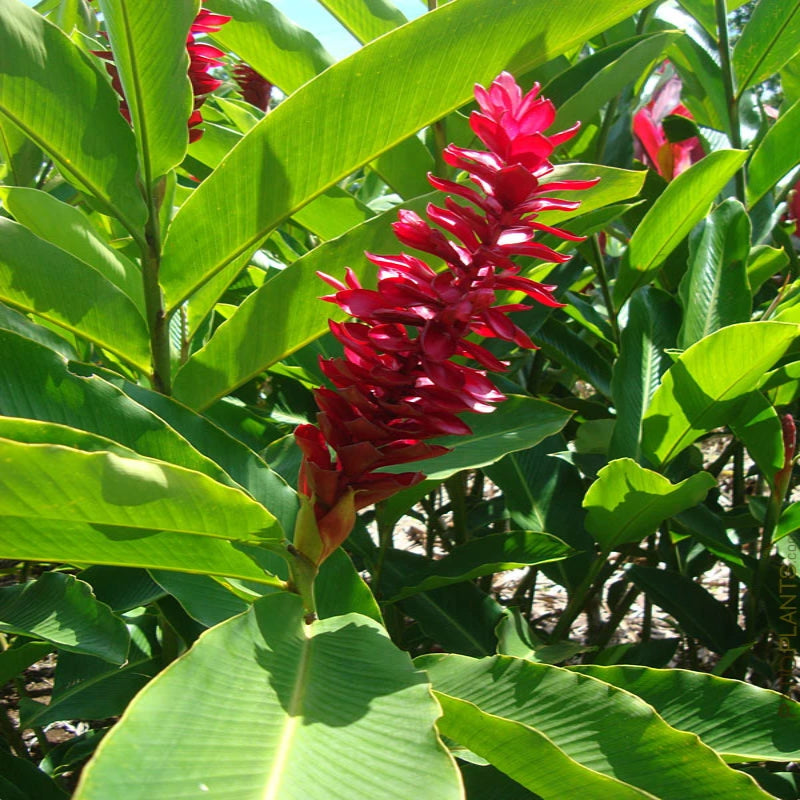 Red Ginger/Alpinia Purpurata-Flowering Plants