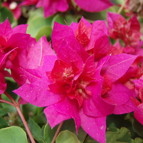 Bougainvillea Dark Pink Double - Creepers & Climbers