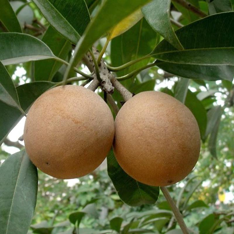 Sapota Cricket Ball (Grafted) - Fruit Plants & Tree