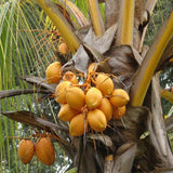Golden coconut - fruits plants & trees