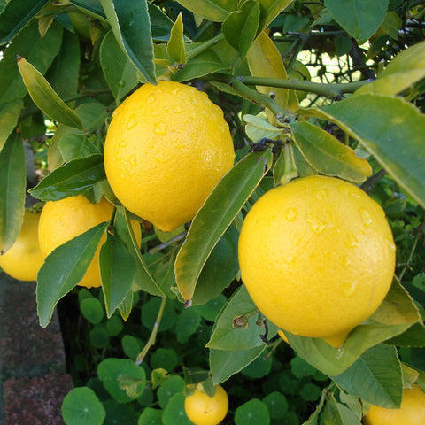 Lemon Balaji - Fruit Plants & Tree