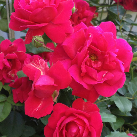 Thornless Rose - Flowering Plants
