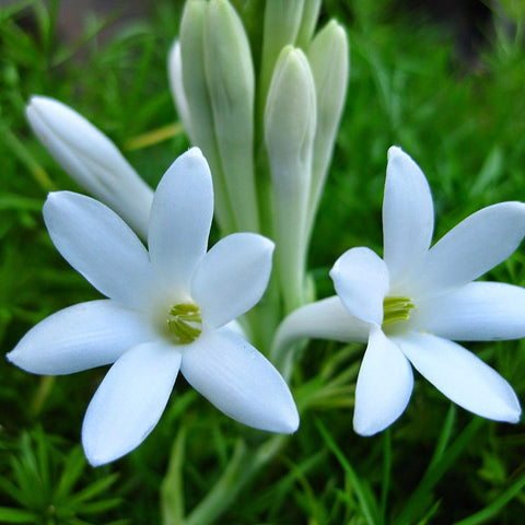 Tuberose Or Mexican Tuberose - Flowering Plants