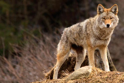 Calling Coyotes: Why Didn't They Come In?