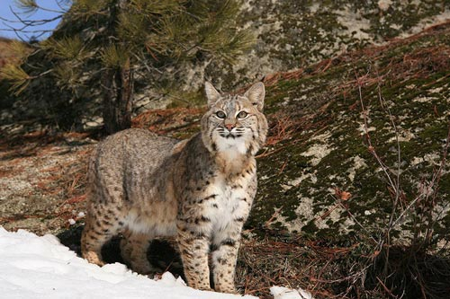 Hunting and Calling Bobcats: Here Kitty Kitty