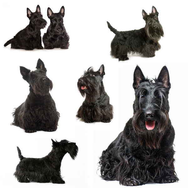 Dog Fabric, Scottish Terrier on White, Cotton or Fleece 1627