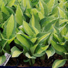 Hosta Gypsy Rose