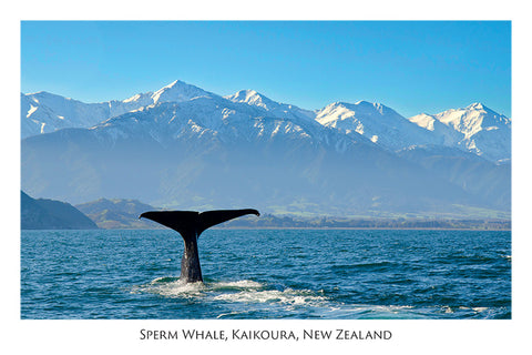 579 - Post Art Postcard - Sperm Whale - Kaikoura