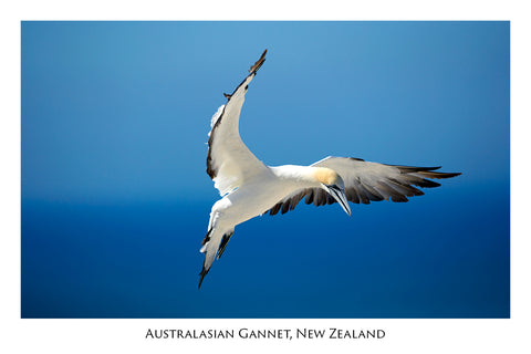 674 - Post Art Postcard - Gannet - Cape Kidnappers