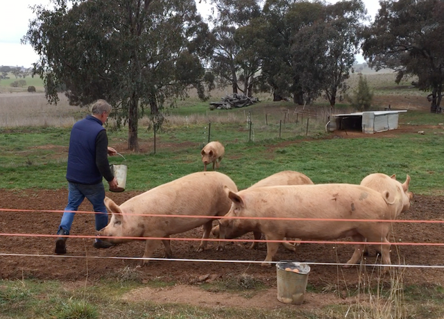 Wallendbeen pig feeding July 2018