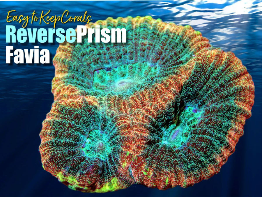 Reverse Prism Favia - Easy to Keep