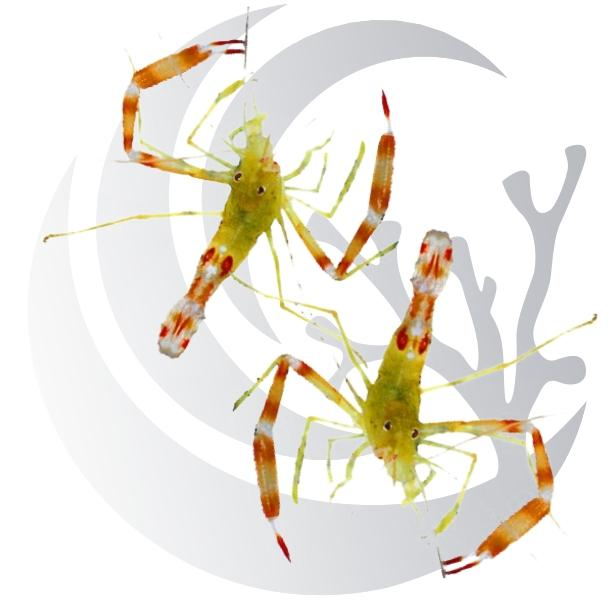 Gold Coral Banded Shrimp pair