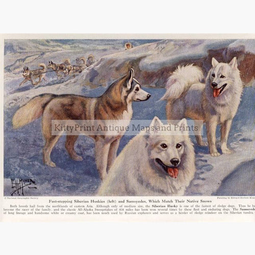 Siberian Huskies and Samoyedes 1920 Prints KittyPrint 1900s Dogs