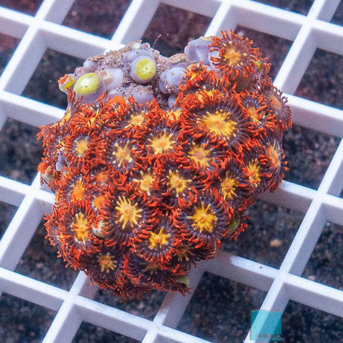 "Zoanthus sp.  - Colorful  Zoanthids -  2"" WYSIWYG Large Frag"