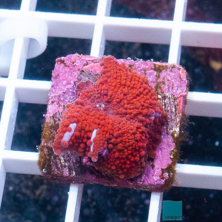 "Discosoma sp.  -  Red Interstellar Mushroom - 1"" WYSIWYG Specimen"