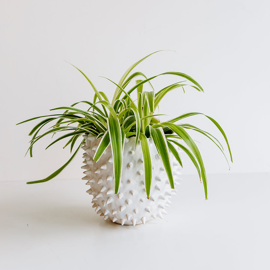 Spider Plant in Cacti Pot - Plants - Black Rooster Maison
