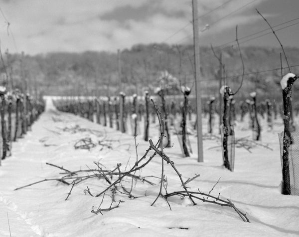 Dormant pruned vines pinot meunier