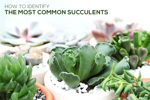 Identify succulents