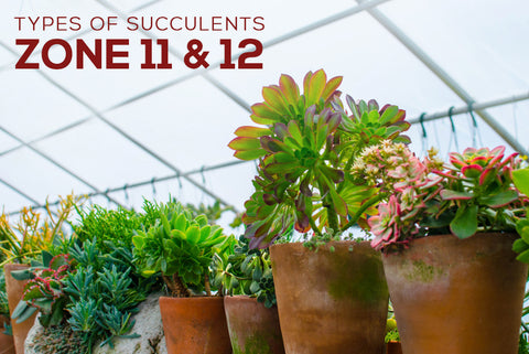 Succulents Hardiness Zone 11 12