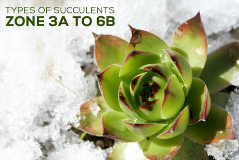 Succulents Hardiness Zone 3 4 5 6