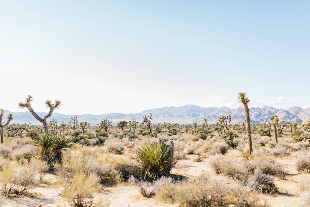 desert landscape of joshua trees