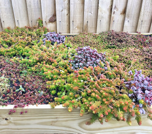 An example of various sedums and succulents in the planter roof of a Bluum Bin Store