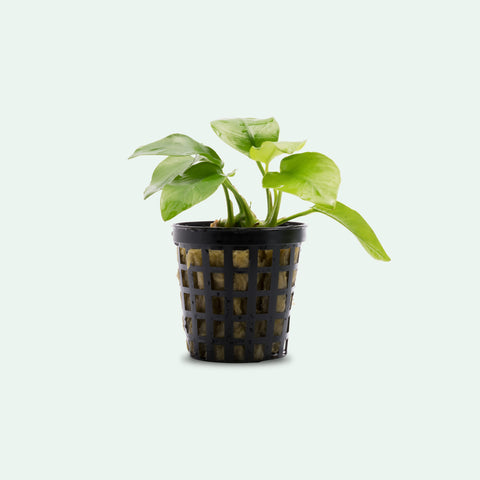 Shop Anubias Nana Golden Aquatic Plants - Glass Aqua