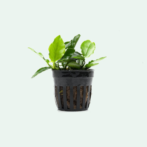 Shop Anubias Nana Long Wavy Aquatic Plants - Glass Aqua