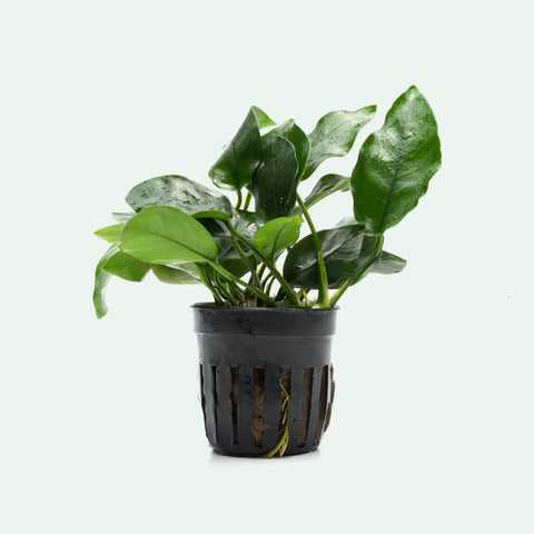 Shop Anubias Nana Aquatic Plants - Glass Aqua
