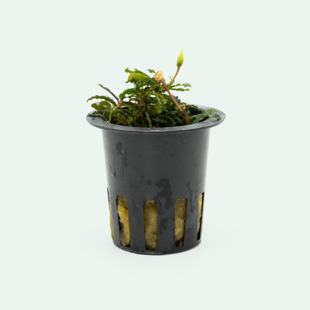 Shop Bucephalandra Catherinae Red Mini Aquatic Plants - Glass Aqua