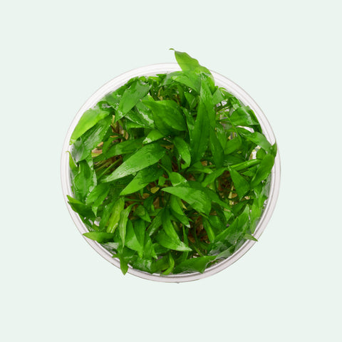 Shop Cryptocoryne Wendtii Green Gecko Aquatic Plants - Glass Aqua