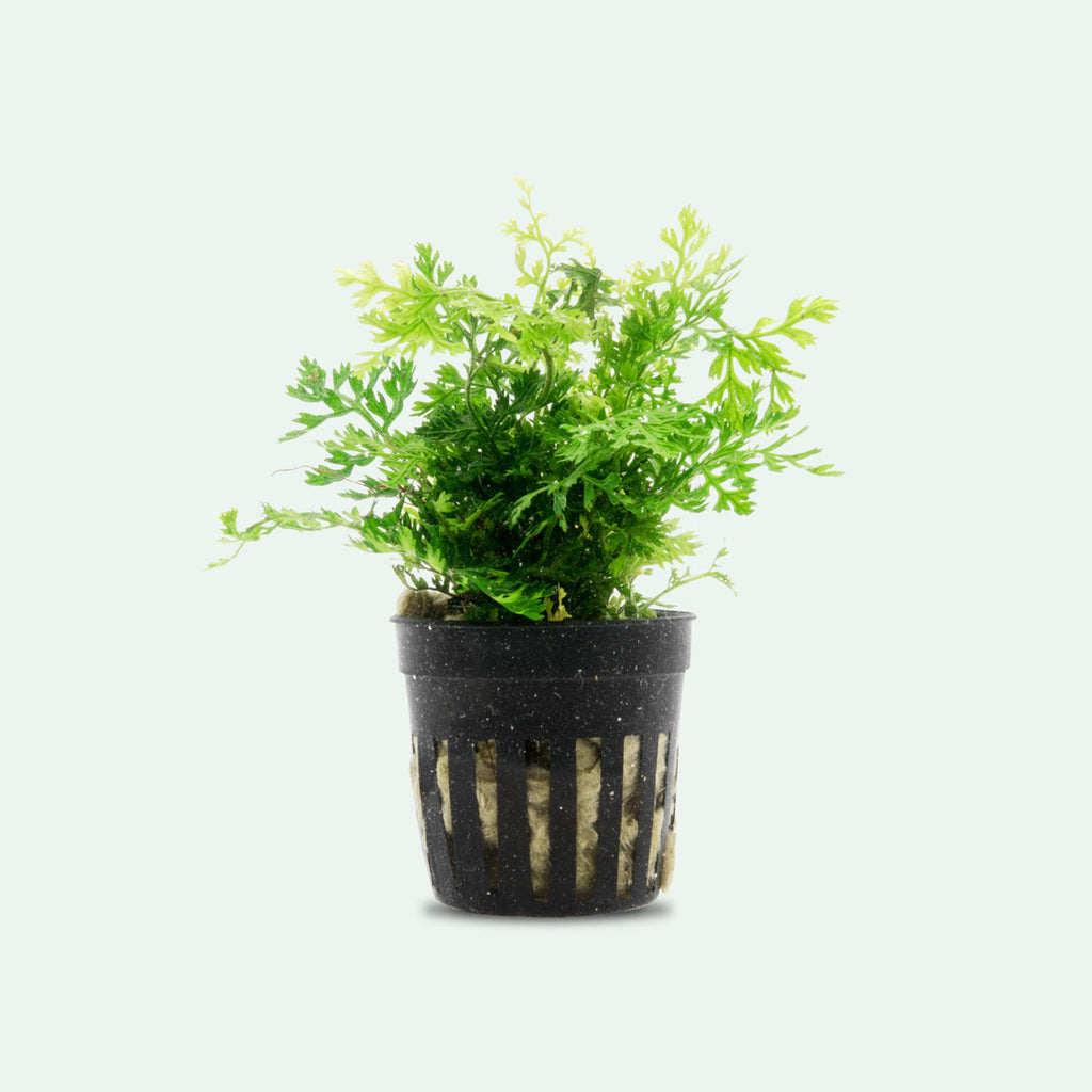 Shop Bolbitis Difformis 'Mini' Aquatic Plants - Glass Aqua