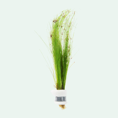 Shop Eleocharis Vivipara Aquatic Plants - Glass Aqua