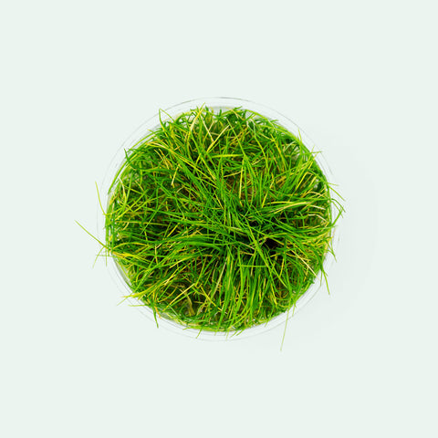 Shop Eleocharis Parvula Aquatic Plants - Glass Aqua