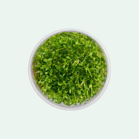 Shop Glossostigma Elatinoides Aquatic Plants - Glass Aqua