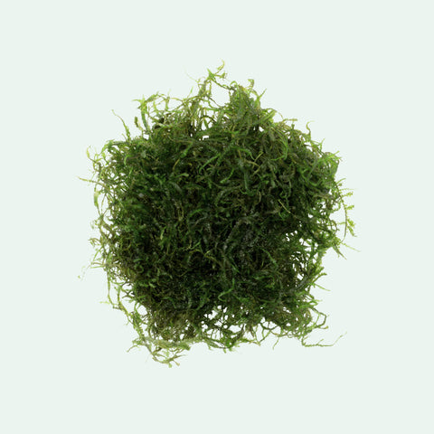 Shop Java Moss Aquatic Plants - Glass Aqua