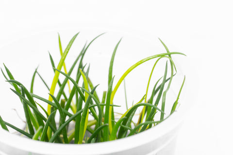 Shop Littorella Uniflora Aquatic Plants - Glass Aqua