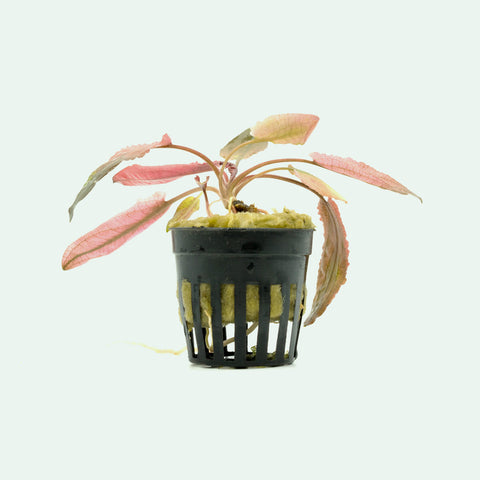 Shop Cryptocoryne Flamingo Aquatic Plants - Glass Aqua
