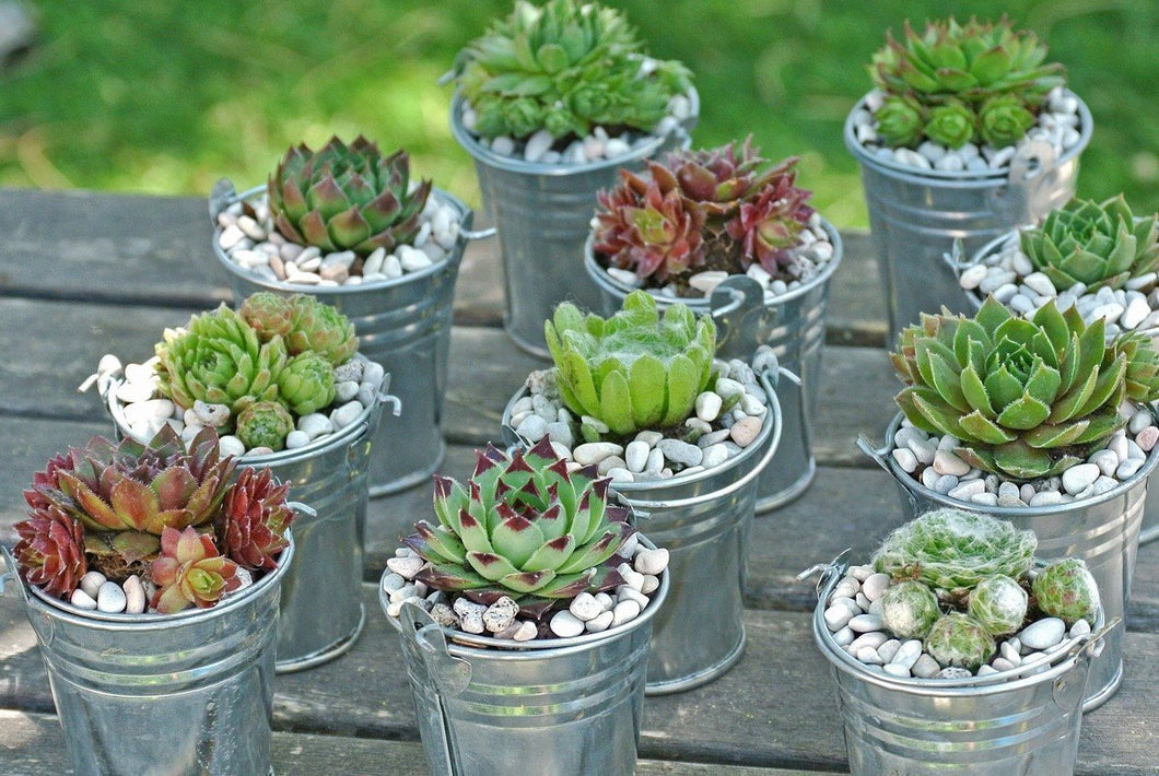 100 Hen and Chicks Succulent Favors By Looking Sharp Cactus