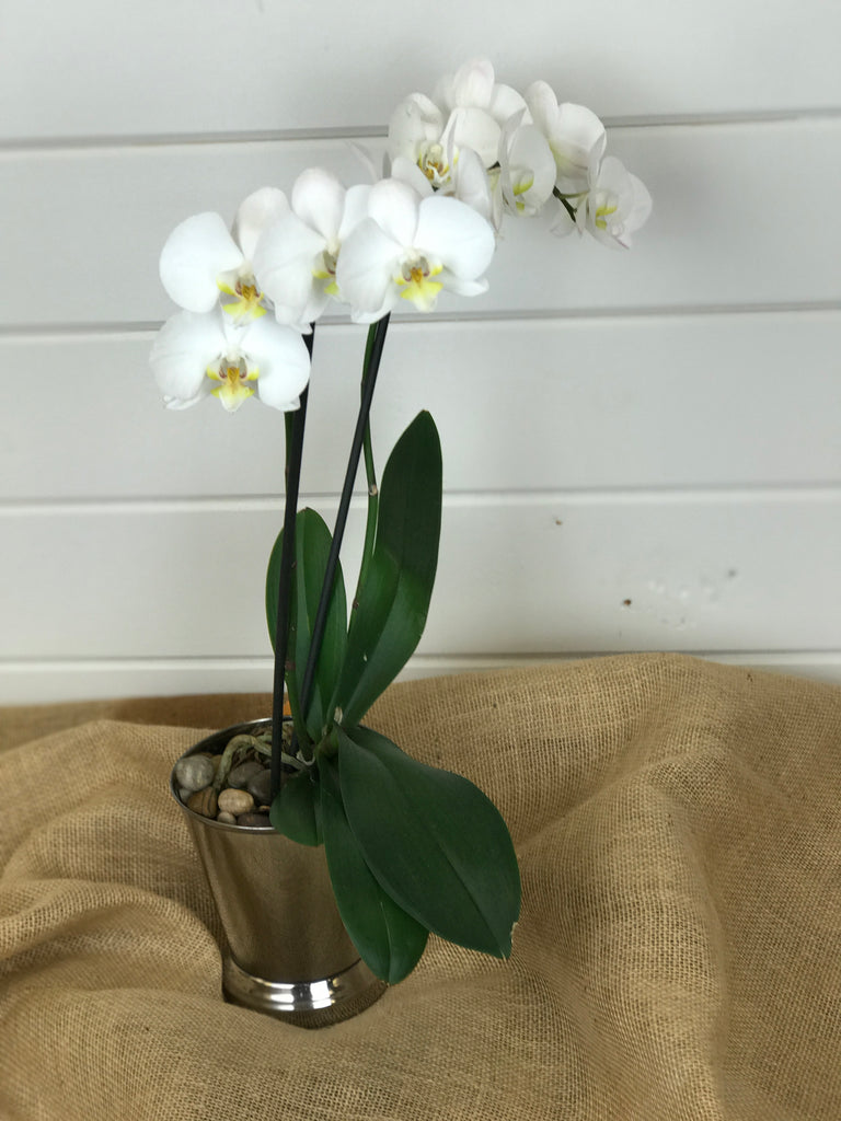 An orchid plant from a local flower shop in Belmar, New Jersey Gig Morris Florist