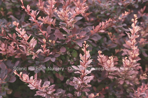 Rosy Glow Barberry Plant - Scenic Hill Farm Nursery