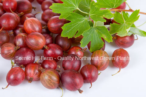 Captivator Gooseberry Plant - Ships Fully Rooted - Large & Sweet