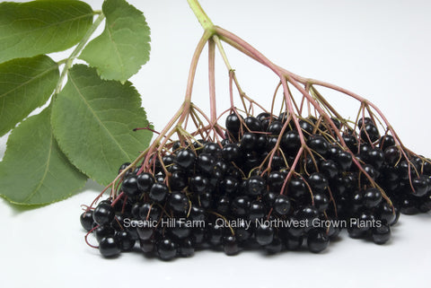 Elderberry Plants - Scenic Hill Farm Nursery