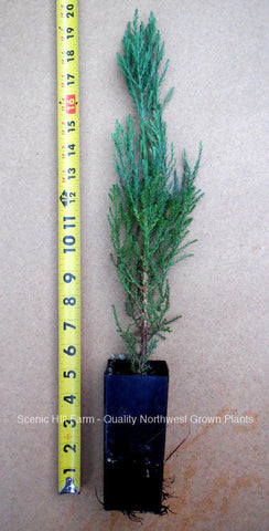"Giant Sequoia Tree - Potted in 5"" deep band pot- 12-18"" tall"