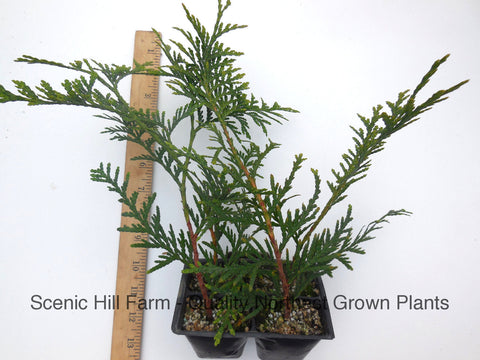 Green Giant Thuja (Cedar Arborvitae) 12- 18 Inches Tall