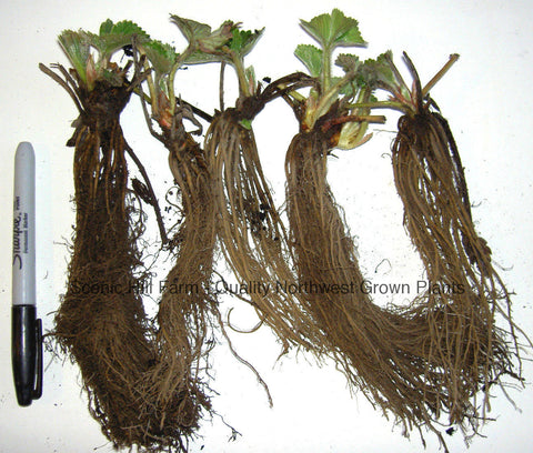 Hood Strawberry Plants - Certified Bare Root Plants - The Sweetest June Bearing