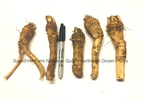 Heirloom Bohemian Horseradish Crowns - Scenic Hill Farm Nursery